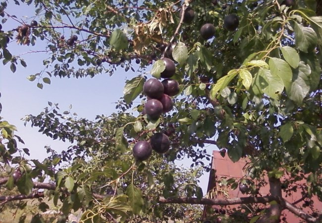 Черный абрикос в ландшафте сада